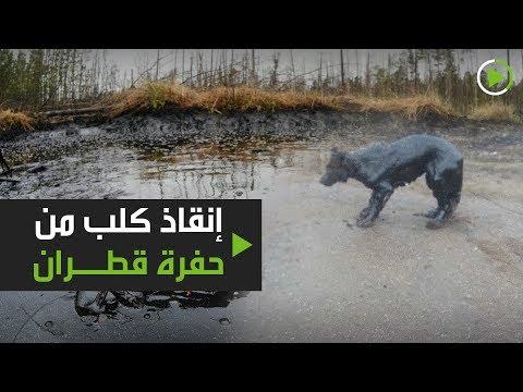 إنقاذ كلب من حفرة قطران في استراخان