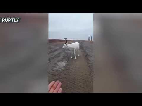 شاهد أيل أبيض يرافق شاحنة أثناء سيرها في طريق شمال روسيا