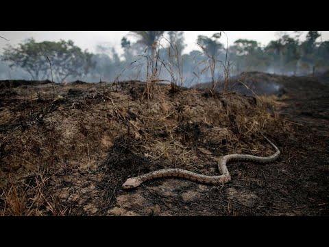 شاهد ثعابين الأمازون الناجية من جحيم الحرائق