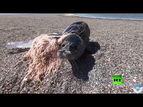 شاهد لحظة إنقاذ كلب البحر القزويني من شباك الصيادين