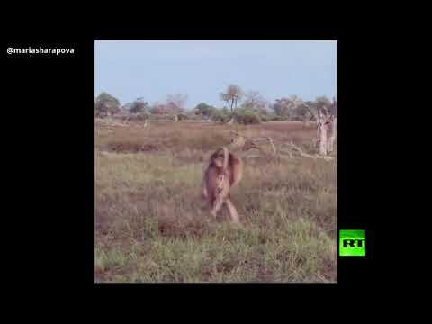 شاهد ماريا شاربوفا تتقف إلى جانب الأسود واللبؤات الأفريقية