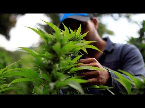 شاهد مزارع الماريجوانا المحرمة في باراغواي