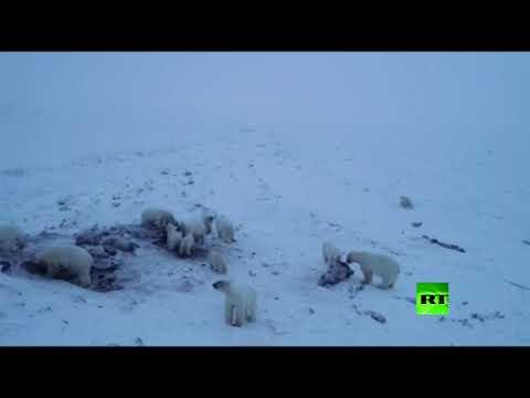 شاهد 50 دبًّا قطبيًّا يشل حركة قرية روسية