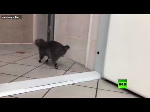 شاهد قط يتبختر مسرورًا بأطرافه الصناعية الجديدة