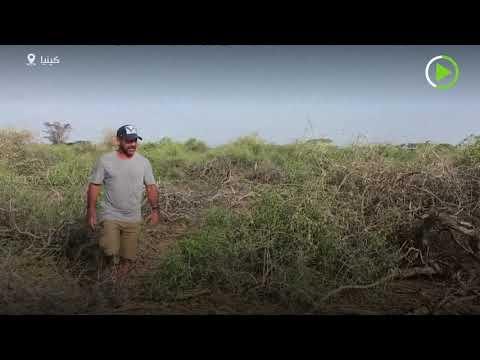 شاهد الملايين من حشرات الجراد الصغيرة تتجمع في صحراء كينيا