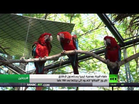 شاهد علماء البيئة في محمية طإيبيرا يستعدون لإطلاق طيور المكاو