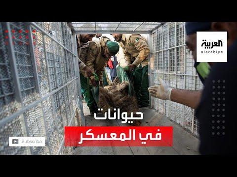 شاهد إغلاق معسكر اعتقال حيوانات ونقلها إلى الأردن
